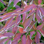 Muskingum® Gray Dogwood fall foliage