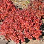 Pygmy Ruby™ Dwarf Pygmy Barberry Fall Foliage