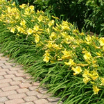 Pocket Full of Gold® Daylily flowers