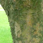 Prophet™ Kousa Dogwood bark