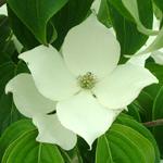 Prophet™ Kousa Dogwood flower