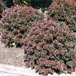 Pygmy Ruby™ Dwarf Pygmy Barberry Spring Foliage