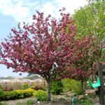 Scarlet Brandywine flower crabapple tree