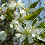 Spring Glory® Serviceberry flowers