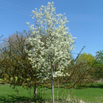 Spring Glory® Serviceberry flowering tree
