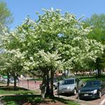 Sugar Tyme® Crabapple tree