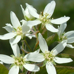 Tradition® Serviceberry flowers