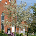 Tradition® Serviceberry flowering tree