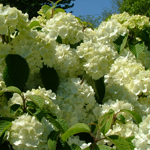 Newport® Viburnum flowering shrub