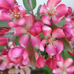 Weeping Candied Apple™ Crabapple flowers