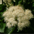 Blue Blaze™ Arrow Wood Viburnum flower