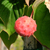 Christian Prince™ Chinese Dogwood fruit