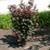 Crimson Pointe™ Flowering Plum hedge
