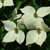 Galilean® Chinese Dogwood