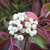 Geauga® Gray Dogwood fruit