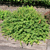 Green Hornet™ Dwarf Pygmy Barberry
