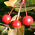Guinevere® Dwarf Crabapple fruit