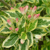 Mor-Colourful™ Weigela