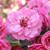 Scarlet Brandywine Crabapple flowers