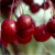 Sugar Tyme® Crabapple fruit