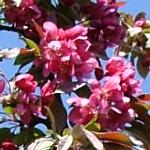 American Salute™ Crabapple flower