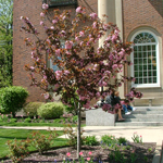 American Salute™ Crabapple tree