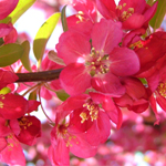 American Spirit® Crabapple flower