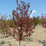 American Spirit® Crabapple Tree