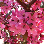 American Triumph™ Crabapple flower