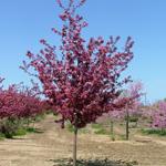 American Triumph™ Crabapple tree