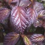 Persian Spire™ Parrotia dark foliage