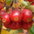 American Spirit® Crabapple fruit