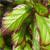 Persian Spire™ Parrotia