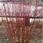 Chief Bloodgood™ Siberian Dogwood stems