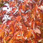 Fireworks™ Arrow Wood Viburnum fall foliage