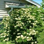 Fireworks™ Arrow Wood Viburnum shrub