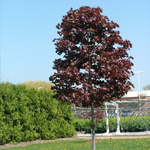 Conquest™ Norway Maple tree