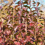 Ovation™ Blackhaw Viburnum fall foliage