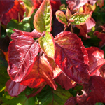 Raspberry Tart™  Arrow Wood Viburnum leaves