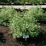 Strawberry Daiquiri® Siberian Dogwood shrub
