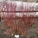 Strawberry Daiquiri® Siberian Dogwood stems