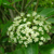 Ovation™ Blackhaw Viburnum flowers