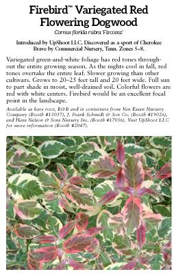 Firebird Variegated Red Flowering Dogwood
