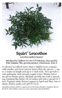Squirt™ Compact Leucothoe