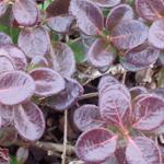 Lo-Hugger™ American Cranberry fall burgundy leaf color