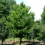 Ultra™ Common Hackberry
