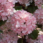 Sparkling Pink Champagne™ Viburnum flowers