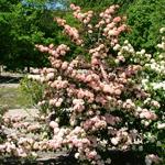Sparkling Pink Champagne™ Viburnum shrub