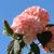 Sparkling Pink Champagne™ Viburnum
