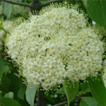 Knighthood™ Black Haw Viburnum flower